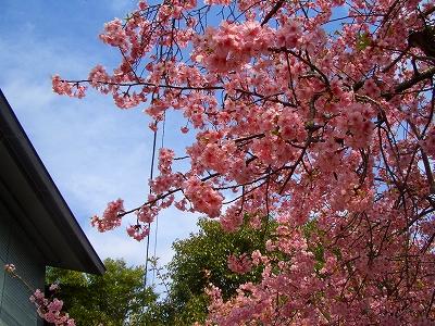 2012年 三嶋大社 三島市観光協会 桜