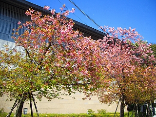 三島 三嶋大社 桜 枝垂れ桜 神池 つぼみ せせらぎ うなぎ 春 お花見 参拝