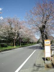 国立遺伝学研究所前 桜並木