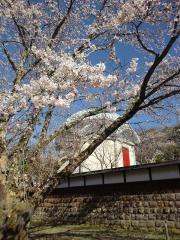 三島市 妙法華寺 桜