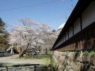 妙法華寺 三島市 桜