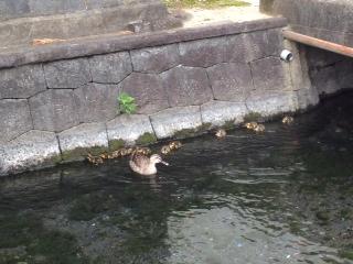 平成24 三島 カモ 川 せせらぎ