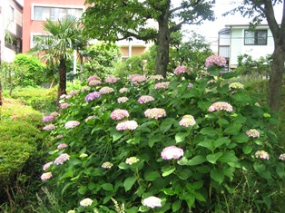 H24 三島 静岡 富士山 せせらぎ うなぎ 菰池 公園 紫陽花 カルガモ ジャカランダ
