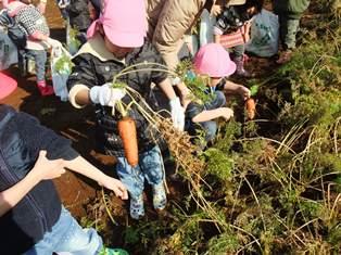 収穫体験 東幼稚園 (14)