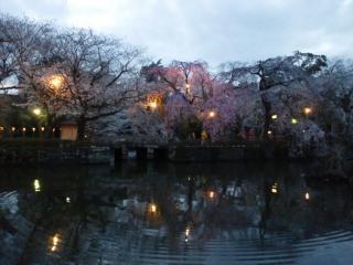 三嶋大社 枝垂れ桜