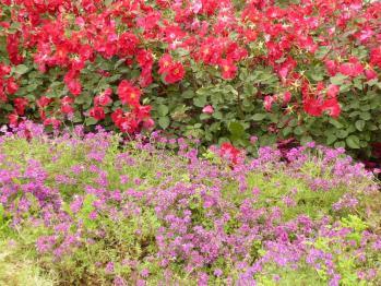 靫公園のバラ06