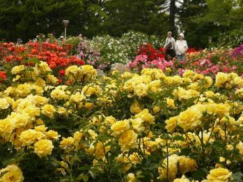 靫公園のバラ05