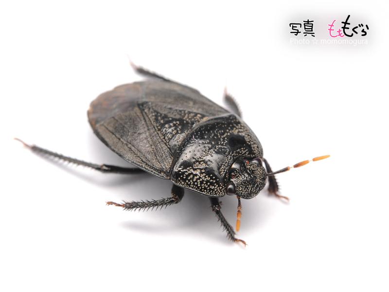 DSC_14510ヨコヅナツチカメムシ
