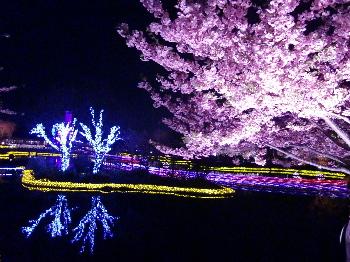 なばな 桜