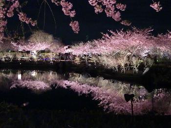 なばな 桜2