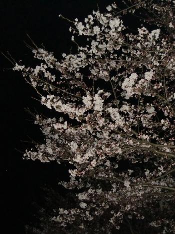 キャンプ夜桜