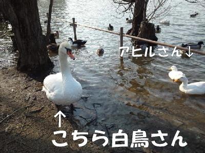 白鳥&アヒル