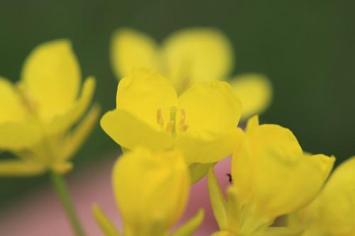 荒川河川敷 菜の花