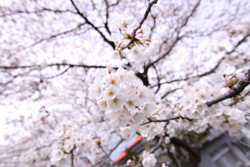 村上市 桜の花見