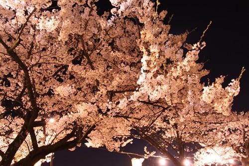 新発田城 夜桜 春まつり