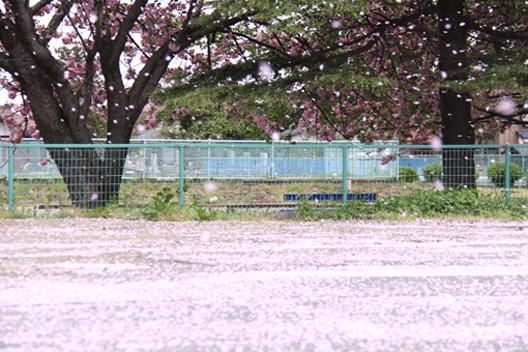 八重桜 散り始め 花吹雪