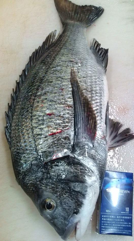 日本海 黒鯛釣り お刺身美味い