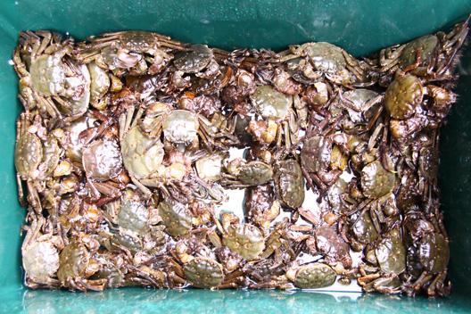 2010 荒川川カニ漁 藻屑蟹(もくずがに)