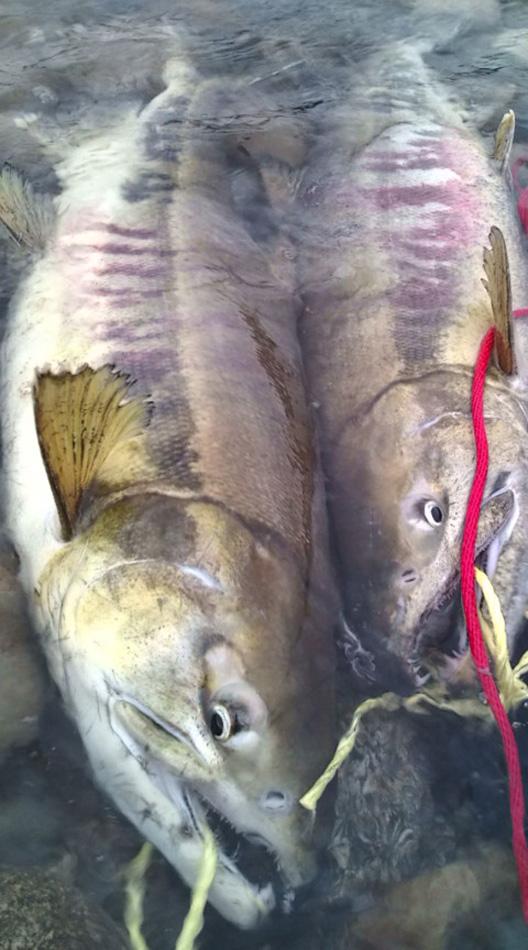 荒川鮭釣り 立派な雄♂鮭 鮭のつかみ取り用