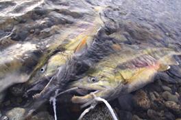 2010荒川鮭釣り