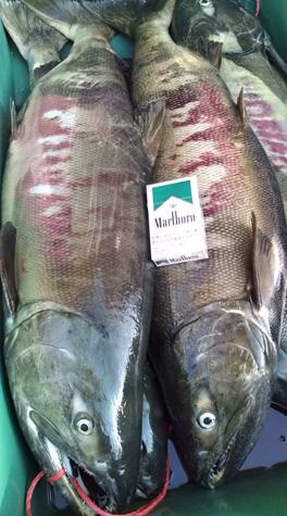 荒川塩引き鮭作り