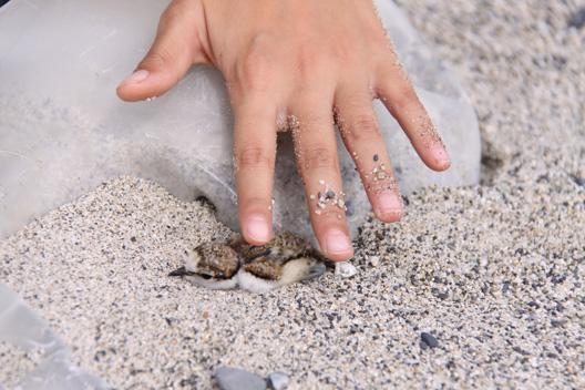 アジサシ 砂浜 産卵 ヒナ 散歩