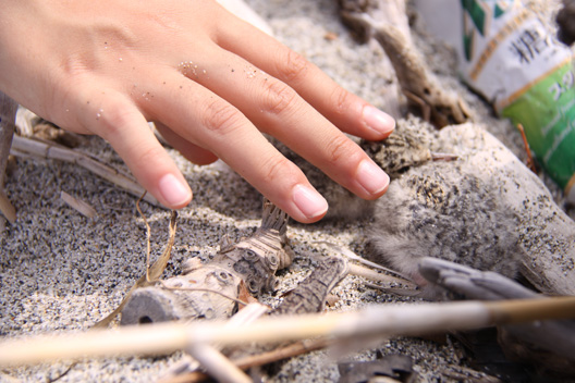 アジサシ 砂浜 産卵 ヒナ