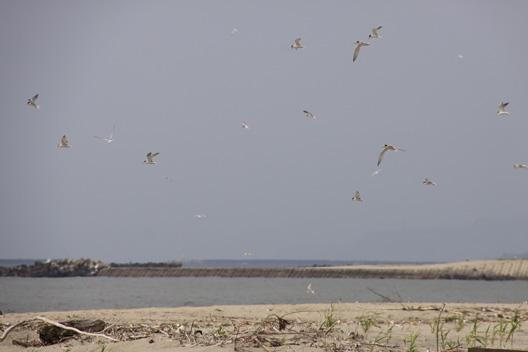 日本海側 アジサシ 砂浜 産卵 ヒナ