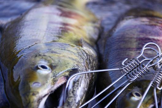 荒川漁協枠 荒川鮭釣り
