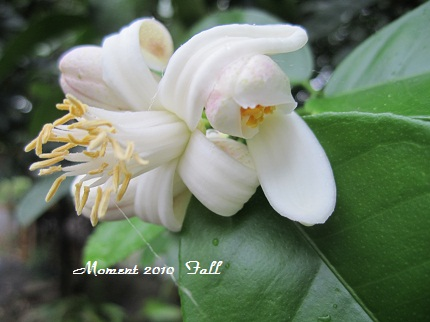 かんきつ系の花