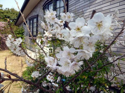 桜が咲きました(1)