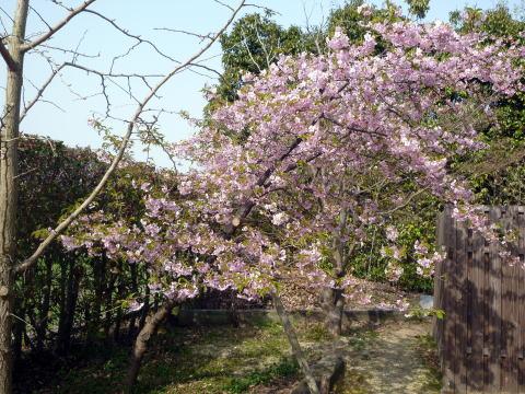 桜が咲きました(2)