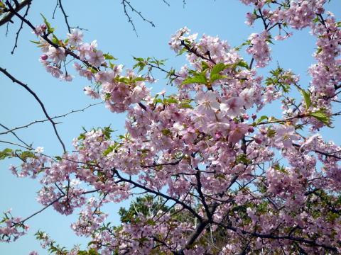 桜が咲きました(3)