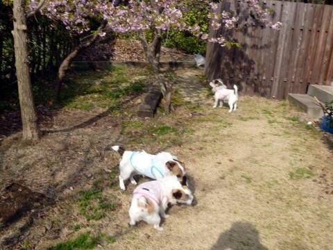 桜が咲きました(4)
