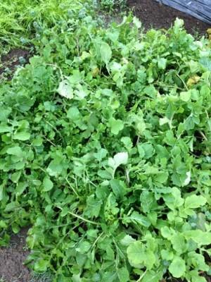 2014.1.26家庭菜園11