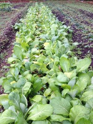 2014.1.26家庭菜園14