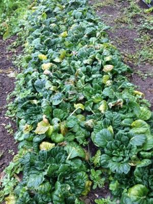 2014.1.26家庭菜園18