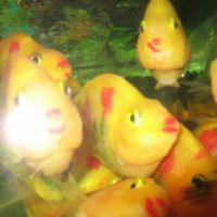 中国式熱帯魚