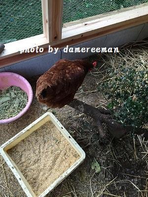 2014.11.22鶏小屋2