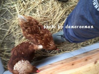 2014.11.22鶏小屋3