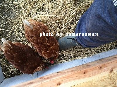 2014.11.22鶏小屋4
