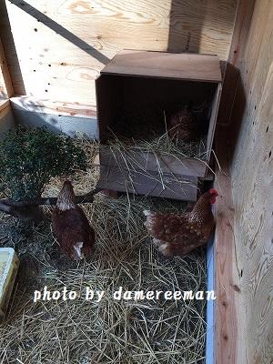 2014.11.22鶏小屋7