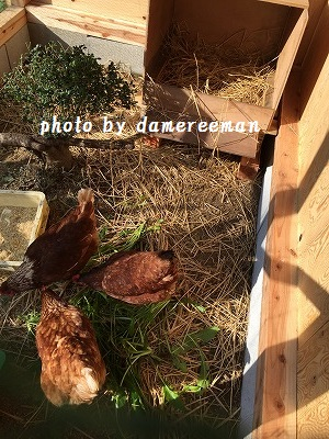 2014.11.22鶏小屋9