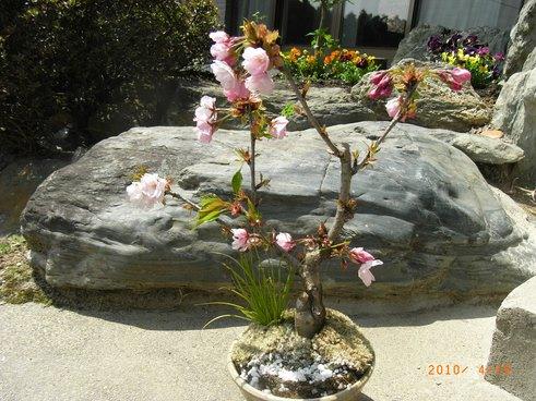 盆栽八重桜