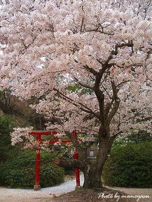 平荘湖 桜