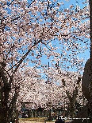 鹿嶋神社 桜