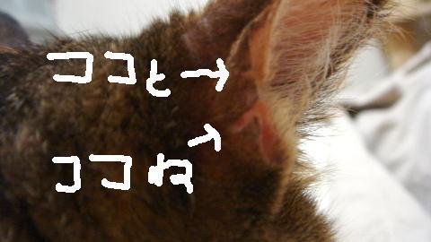 みみがー (6)