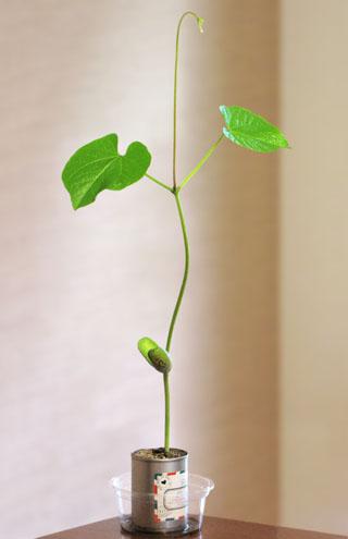 すくすく成長する豆の木