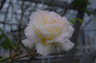 残り数輪のバラ