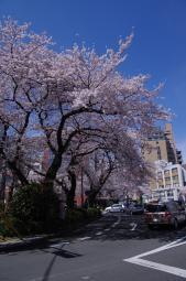 どれも立派な桜です